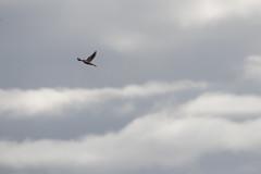 IMG_4414 (armadil) Tags: prairie ranchocorraldetierra bird birds kestrel americankestrel flying