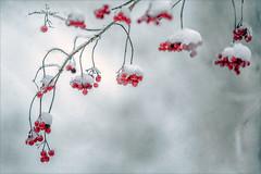 Untitled (Eva Haertel) Tags: eva haertel natur nature jahreszeit season winter schnee snow rowanberries vogelbeeren rot red blurr unschärfe bokeh detail makro