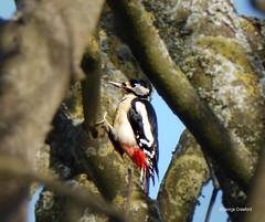 Portencross Road Woodpecker1 (g crawford) Tags: crawford ayrshire northayrshire portencross portencrossroad westkilbride bird woodpecker red
