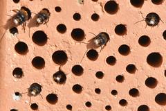 Warten auf Sonne! (juergen.mangelsdorf) Tags: braunschweig germany osmiacornuta weddel wildbiene