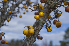 Golden Berries (brucetopher) Tags: yellow berry crabapple small apple fruit sky fall autumn harvestgold gold golden cloud clouds tree branch fruittree bunches tart orchard decorative plant flowering