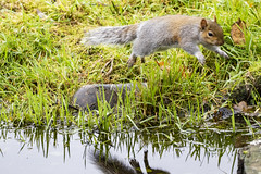 Squirrel (17) (Mal.Durbin Photography) Tags: wildlifephotography maldurbin naturephotography wildbirds forestfarm nature naturereserve