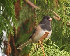 Dark eyed junco (piranhabros) Tags: eugeneoregon eugene cedartree cedar animal bird darkeyedjunco junco