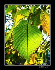 koivu leaves (harrypwt) Tags: harrypwt ricoh caplior7 r7 borders framed helsinki nature finland leaves autumn munkkiniemi koivu paintinglike