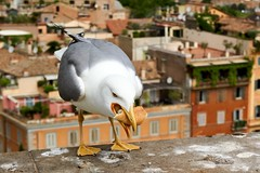 Hungry Roman gull (Yirka51) Tags: billofbird taste appetite hungry pastry meal roll gull seagull wall stonewall roof italy house fauna building bird architecture