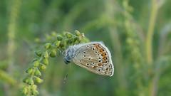 Le funanbule (passionpapillon) Tags: macro papillon butterfly insecte passionpapillon 2018 ngc npc