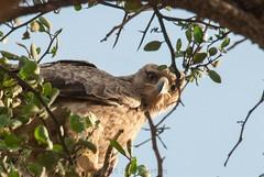 Looking Down On Me (Makgobokgobo) Tags: tawnyeagle eagle raptor bird olaremotorogiconservancy olaremotorogi olare omc masaimara mara kenya africa aquilarapax aquila