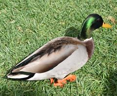 Bird (earthdog) Tags: 2018 nikon nikond5600 d5600 18300mmf3563 disneyvacation disney vacation vacation2018 travel disneyland anaheim duck animal bird grass liveanimal
