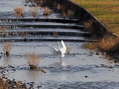 Great egrets (Ardea alba, ダイサギ) at Oyamakawa (Greg Peterson in Japan) Tags: egretsandherons ダイサギ rivers 野鳥 oyamakawa 野洲市 japan birds yasu 滋賀県 wildlife shiga 大山川 shigaprefecture