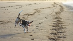 sudden halt! (RCB4J) Tags: ayrshire ayrshirecoast scotland rcb4j ronniebarron trailhound jakob dog running ballplay footprints hoofprints sonyslta77v tamronspaf90mmf28dimacro11 art photography irvinebeach clydecoast firthofclyde westcoast