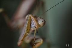 Come now, don't be bashful (SuzieAndJim) Tags: suzieandjim closeup shy bug insect praying mantis naturephotography nature bashful