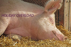 TOO MUCH FUN! (ddt_uul) Tags: holiday pig swine straw barn