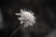 Delicate (luisacollorafi) Tags: flower monochrome blackandwhite blur bokeh nature flowerhead