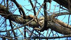 Female Pileated Woodpecker_5031.mp4 (Henryr10) Tags: ottoarmlederpark hamiltoncountyparkdistrict cincinnati ottoarmledermemorialpark armlederpark littlemiamiriver greatparksofhamiltoncounty usa overlookwoods pileatedwoodpecker dryocopuspileatus dryocopus pileatus bird woodpecker avian vogel ibon oiseau pasare fågel uccello tékklistar piwo