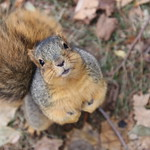 170/365/3822 (November 28, 2018) - Fox Squirrels in Ann Arbor on an Autumn day at the University of Michigan - November 28th, 2018 thumbnail