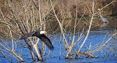 duck hunting eagle style - Bald Eagle (foto tuerco) Tags: bald eagle adult flying marsh oregon heron