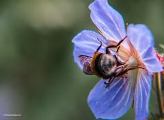 2667 flor (Ricard Gabarrús) Tags: macro flores flor insecto botanica naturaleza ricardgabarrus olympus ricgaba planta