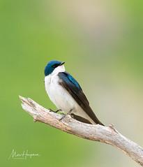 Tree swallow (Marc Haegeman Photography) Tags: hirundinidae swallow treeswallow bird birdphotography usa northamericanbirds animals travel nikon marchaegemanphotography tachycinetabicolor migratorybirds