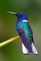 White-necked Jacobin (anacm.silva) Tags: whiteneckedjacobin hummingbird colibri ave bird wild wildlife nature natureza naturaleza birds aves naturepavilion sarapiqui costarica florisugamellivora coth coth5