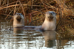 North American River Otters (brian.bemmels) Tags: lontra canadensis lontracanadensis northamericanriverotter riverotter otter nature fauna outdoors wildlife richmond bc britishcolumbia canada terranovapark