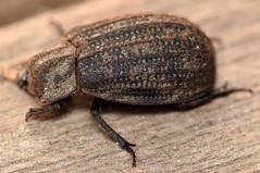 11.2 mm hide beetle (ophis) Tags: coleoptera polyphaga scarabaeoidea trogidae trox troxunistriatus hidebeetle