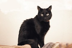 on bed (Spenser.Cat) Tags: stokley cute male black cat
