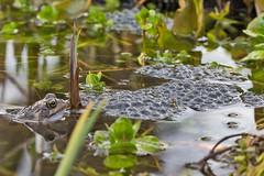 _W4A8685 Frog and spawn (Rana temporaria) (ajmatthehiddenhouse) Tags: kent stmargaretsatcliffe garden uk 2018 frog amphibians rana temporaria ranatemporaria commonfrog amphibian