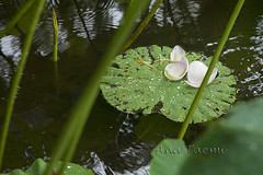 ATU_9655_Flor de Lotus_HR (Ana Taemi) Tags: flordelotus lotusflower