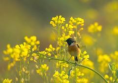 108488744 (TARIQ HAMEED SULEMANI) Tags: sulemani tariq tourism trekking tariqhameedsulemani winter wildlife wild birds nature nikon