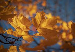 """"""" J """" on the leaf ... (Julie Greg) Tags: autumn autumn2018 colours leaf leafs nature nautre tree canon park england kent details"""