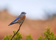 Eastern Bluebird (ryanmense) Tags: bluebird wildlife bird sedona arizona birding nature a7r sony 400mm