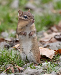 Chipmunk standing tall (jimbobphoto) Tags: chipmunk rodent scary wildlife sasquatch