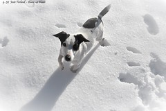 4-52 Blanc sur Blanc (Josée Ferland) Tags: chien jackrussel neige hiver