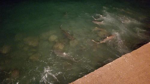 Sharks / Squali