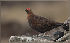 Red Grouse (Dave @ Catchlight Images) Tags: nature wildlife canon 500mmf4 winter birds bird grouse red