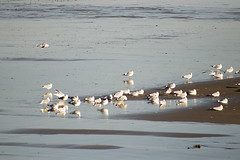 Seashore birds (Gill Stafford) Tags: gillstafford gillys image photograph wales bird gulls sea shore beach coastalpath abergele