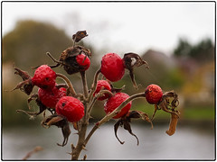 323.2 Beyond their sell-by date (Dominic@Caterham) Tags: berries thames river autumn houses bank water sky