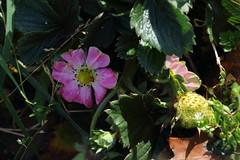 Late bloomers (dididumm) Tags: fall autumn latebloomers garden pink inbloom strawberry fragaria×ananassa erdbeere blühend rosa garten gartenerdbeere spätzünder spätentwickler herbst