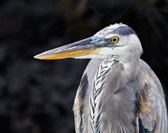 Galapagos Great Blue Heron #2 (szeke) Tags: heron bird blue great animal wildlife nature beak