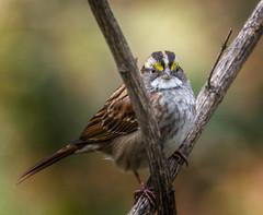 Mind Yer Own Business (Portraying Life, LLC) Tags: michigan unitedstates k3 pentax ricoh da3004 hd14tc sparrow migrant bird portrait nativelighting closecrop