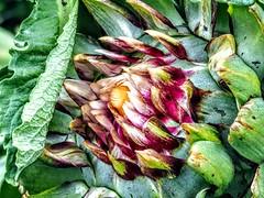 Artichoke Flower (pmorris73) Tags: arboretum pennstateuniversity statecollege pennsylvania century 2ca3119 3ca3119 4ca3119 5cb0119 6cb0319 7cb1019 8cb2419 9cb2619 1kc0219