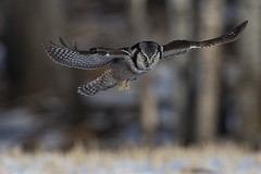 Hunting (Peter Stahl Photography) Tags: northernhawkowl hawkowl winter hunting voles