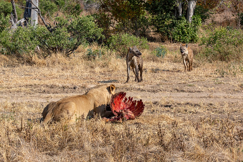 Lion and spotted hyenas around a kill (a zebra), Mana Pools National Park, Zimbabwe
