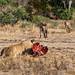 Lion and hyenas around a kill (a zebra), Mana Pools National Park, Zimbabwe