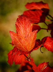 Autumn Maple Leaf (http://fineartamerica.com/profiles/robert-bales.ht) Tags: fall forupload haybales people photo places plants projects scenic states washington yelm leaves maple red black floating single fallcolor acer tree canada nature sensational spectacular awesome magnificent peaceful surreal sublime magical spiritual inspiring deciduous canonshooter americanphotograph northamericanphotography emmett idaho idahophotography wow stupendous superb tranquil picturesqueness habitat northwest zephr god country quiet soothing autumn shining treasurevalley gemcounty robertbales