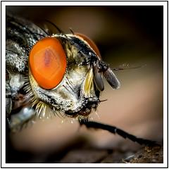 Stubenfliege (robert.pechmann) Tags: stubenfliege muscadomestica makro macro fliege facettenauge insekt robert pechmann fliegenkopf fly