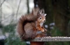 RED SQUIRREL (TF102A) Tags: wildlife squirrel redsquirrel scotland animal