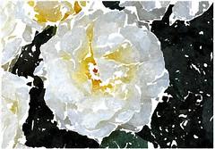 Jesus Christ, mein Gott und Herr (amras_de) Tags: rose rosen ruža rosa ruže rozo roos arrosa ruusut rós rózsa rože rozes rozen roser róza trandafir vrtnica rossläktet gül blüte blume flor cvijet kvet blomst flower floro õis lore kukka fleur bláth virág blóm fiore flos žiedas zieds bloem blome kwiat floare ciuri flouer cvet blomma çiçek zeichnung dibuix kresba tegning drawing desegnajo dibujo piirustus dessin crtež rajz teikning disegno adumbratio zimejums tekening tegnekunst rysunek desenho desen risba teckning çizim
