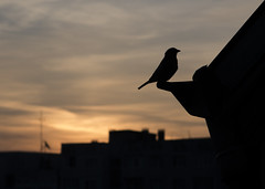 Sparrow on a roof (Sebastian Pier Filip) Tags: sparrow canon g16 compact pocketablecamera pointandshoot pointnshoot sofia bulgaria sunrise urban silhouette bird