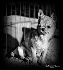 chihuahua (South West Unicorn Photography) Tags: chien dog chiens dogs chihuahua animal animaux nature natur flickr nikon nikkor